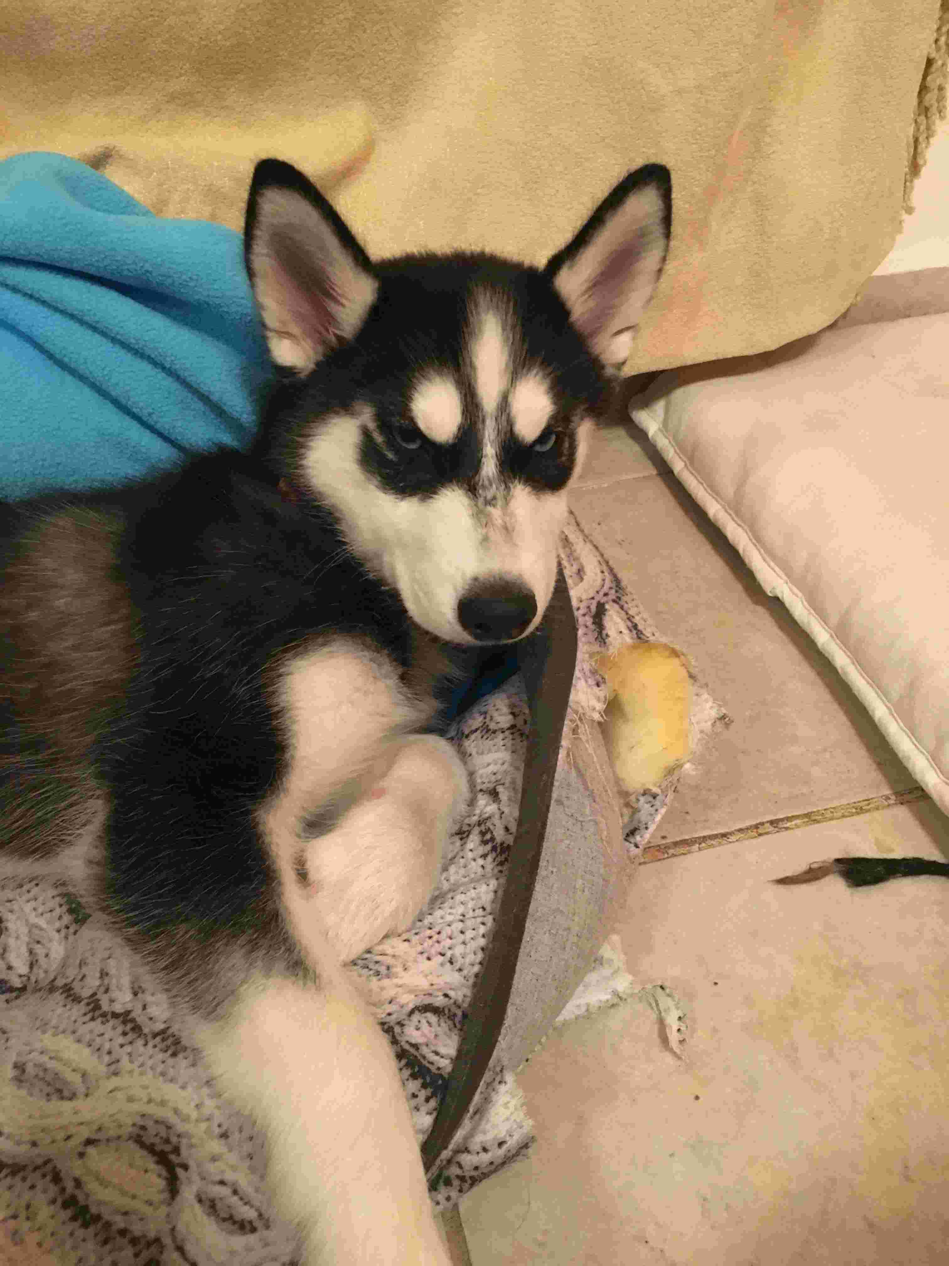 Is my puppy a pure breed husky Img_7511