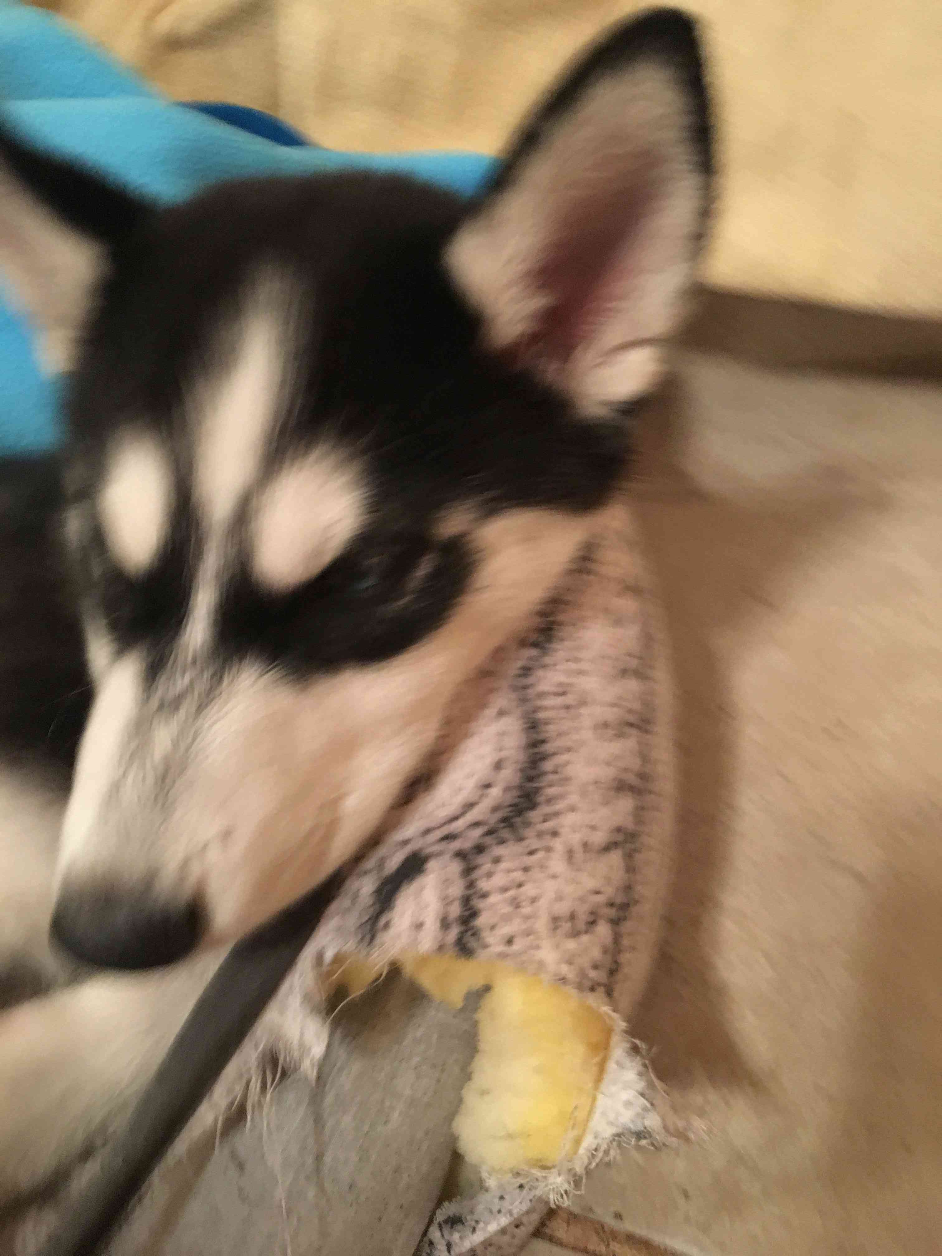Is my puppy a pure breed husky Img_7513