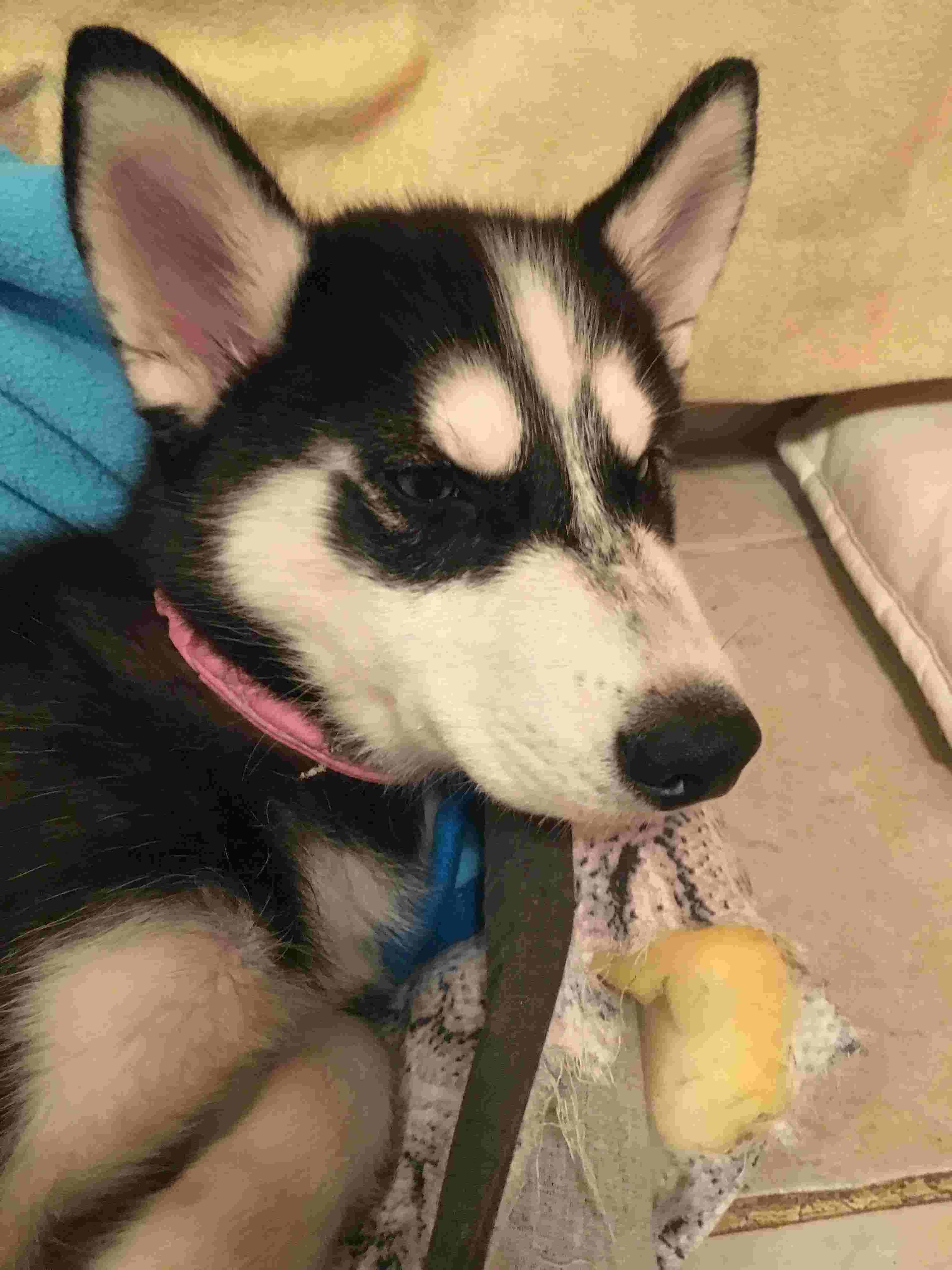 Is my puppy a pure breed husky Img_7514