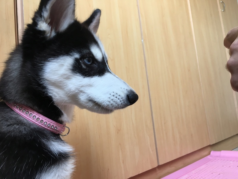 Is my puppy a pure breed husky Img_7539