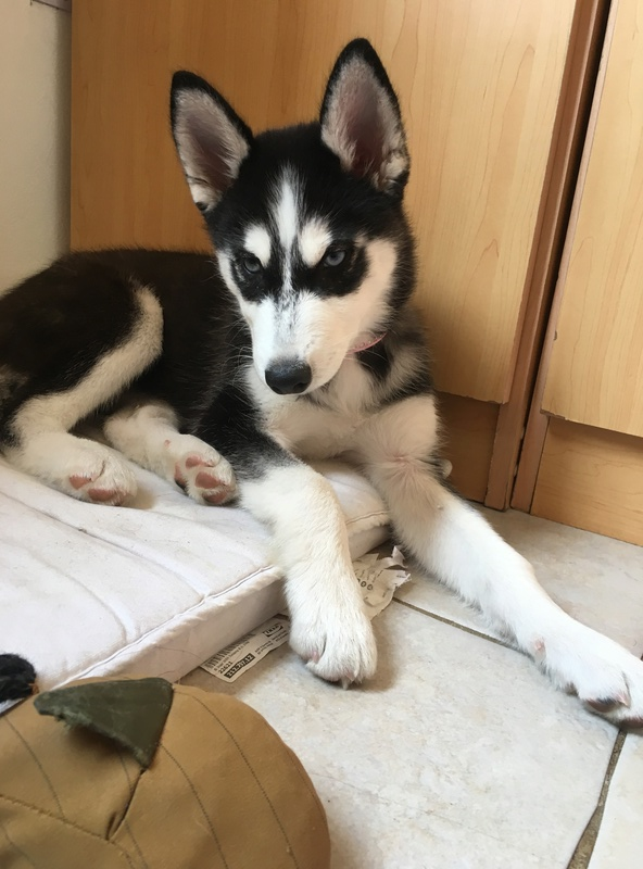 Is my puppy a pure breed husky Img_7540