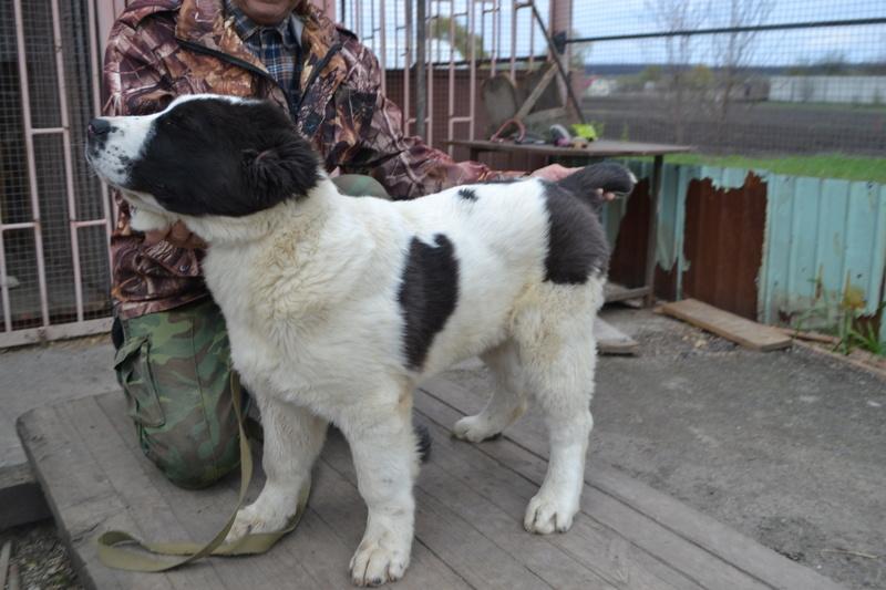 Питомник Коли Санжар предлагает замечательных щенков Dsc_0211