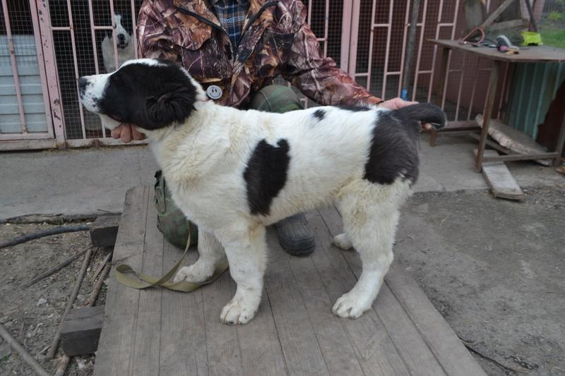 Питомник Коли Санжар предлагает замечательных щенков Dsc_0213