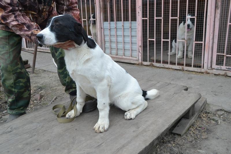 Питомник Коли Санжар предлагает замечательных щенков Dsc_0215