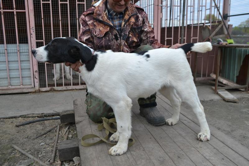 Питомник Коли Санжар предлагает замечательных щенков Dsc_0216
