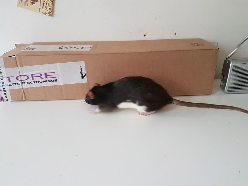 2 jeunes rattes à placer 1_bico11