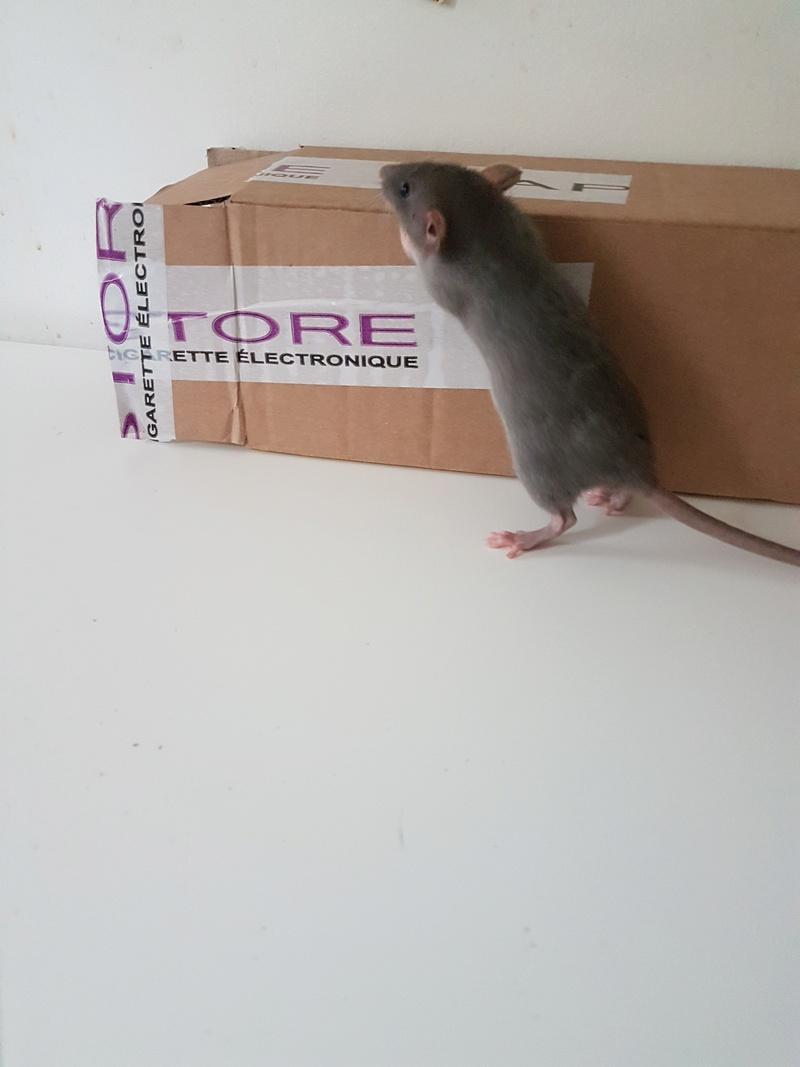2 jeunes rattes à placer 1_gris11