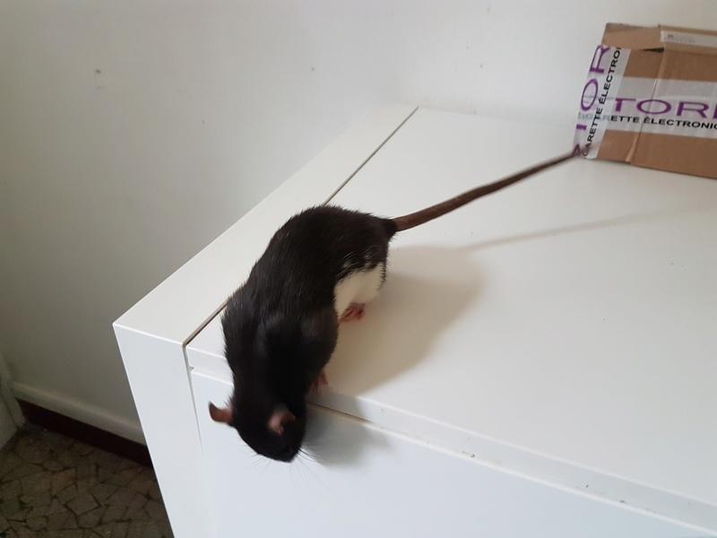 2 jeunes rattes à placer 2_bico11