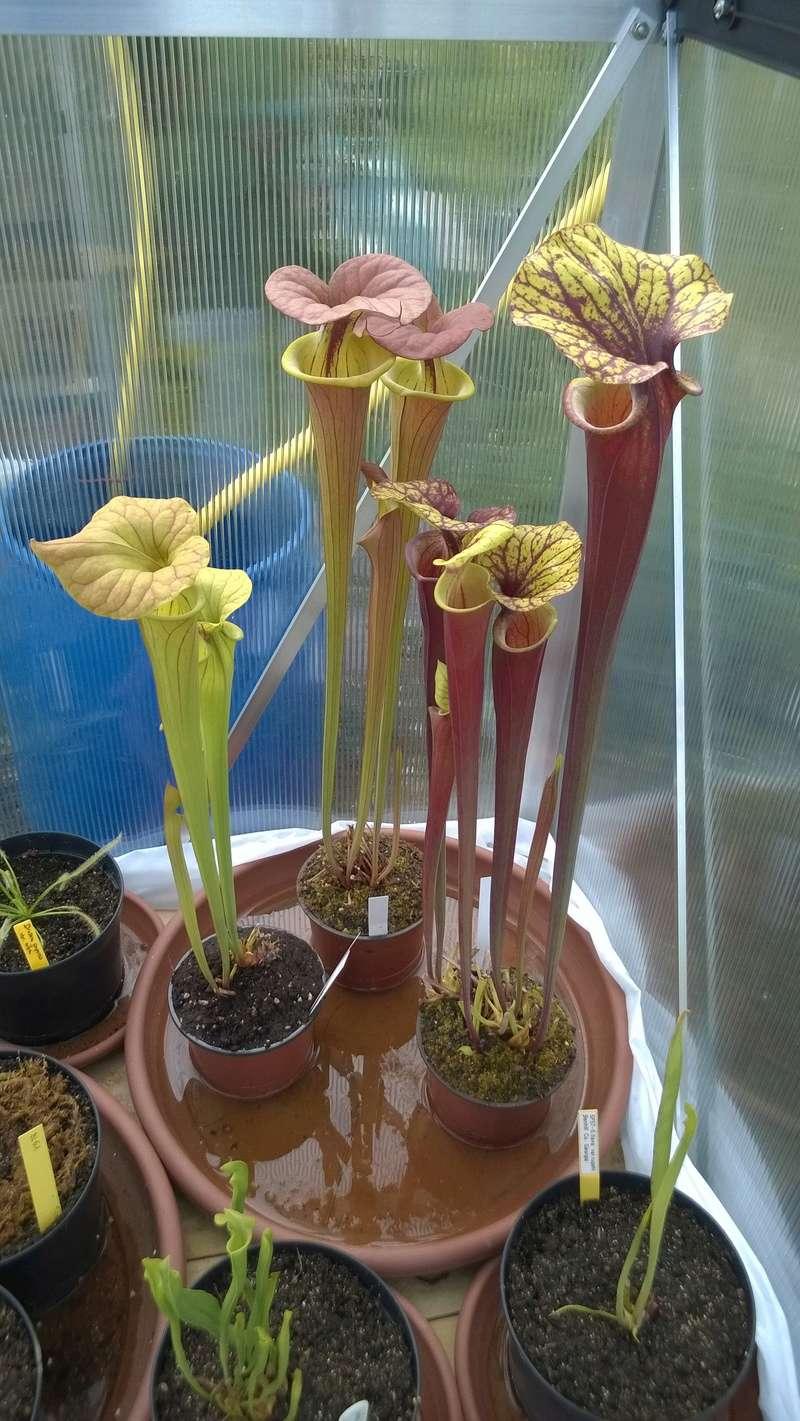 Mes Sarracenia Wp_20118