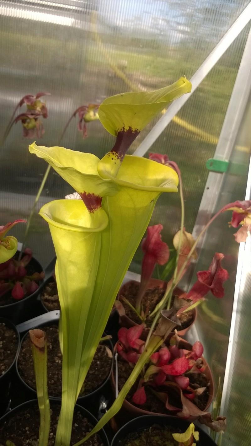 Mes Sarracenia Wp_20121