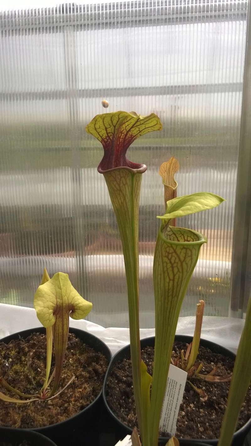 Mes Sarracenia Wp_20123