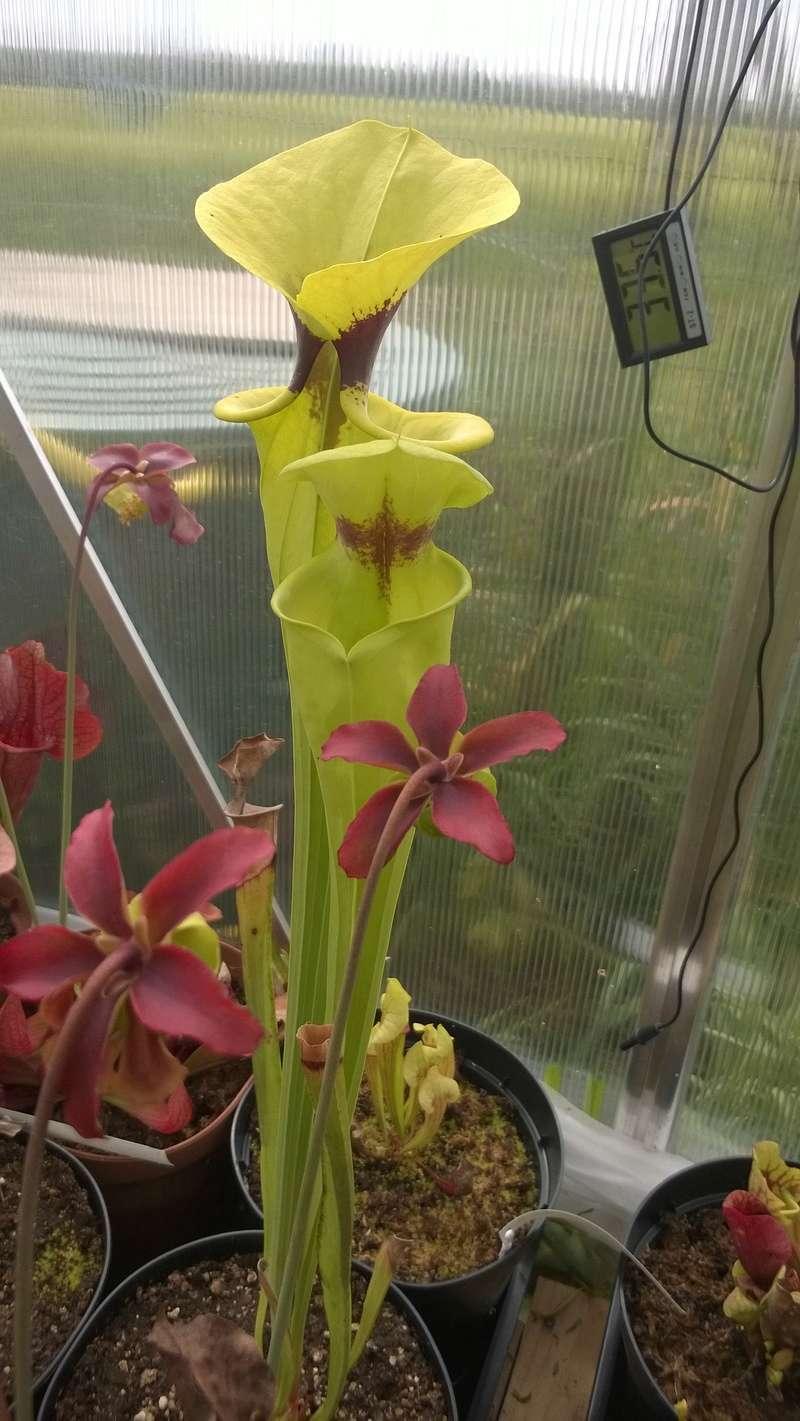 Mes Sarracenia Wp_20126