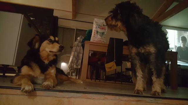 Race ou croisements de votre (vos) chiens ?  16903510
