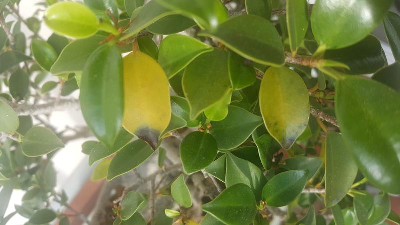 Ayuda -  Ficus 20 años hojas amarillas y negras 20170514