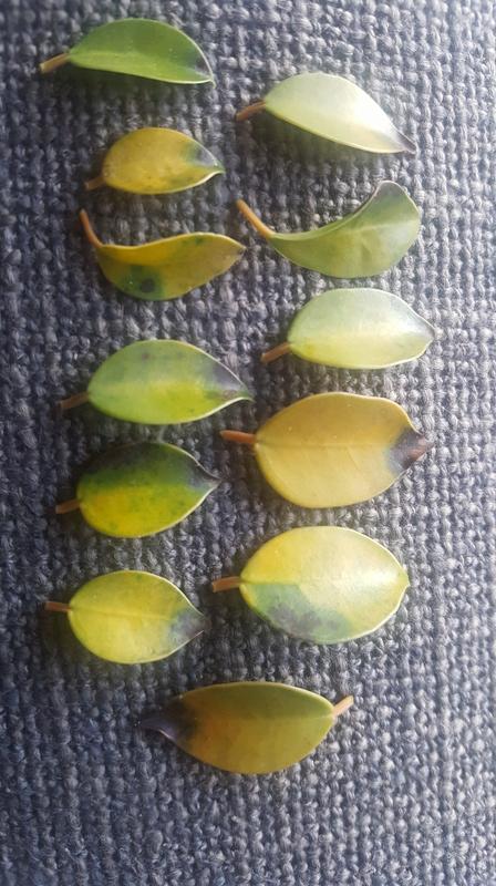 Ayuda -  Ficus 20 años hojas amarillas y negras 20170515