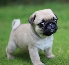 I like pugs Downlo10