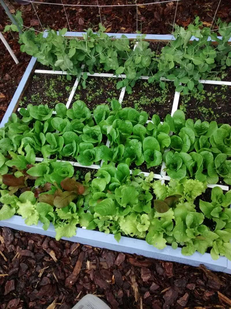 baby lettuce and baby spinach experiment. 2017ma10