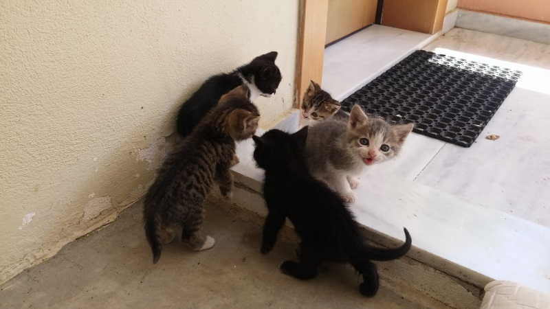 Χαρίζονται 5 γατάκια - Παλλήνη Gataki19