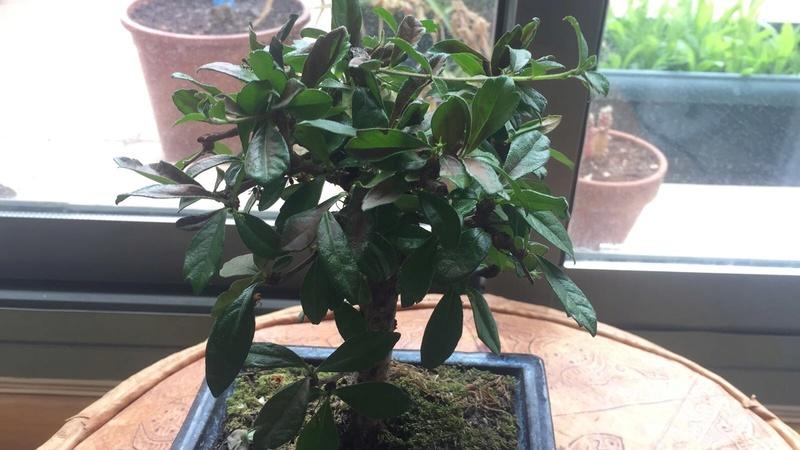 Presentación y mis nuevos bonsais. Ayuda urgente Carmona Img_2528