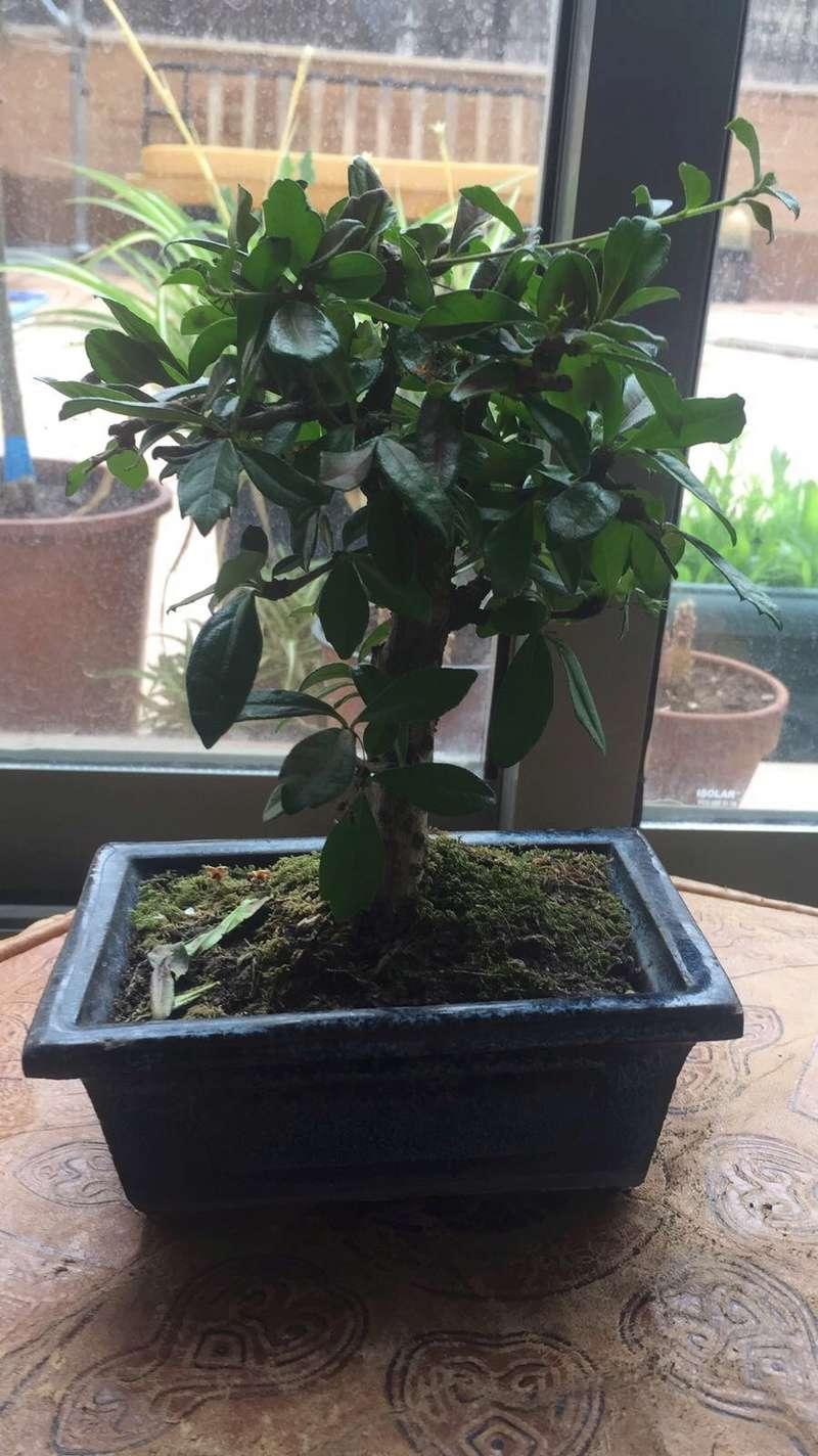 Presentación y mis nuevos bonsais. Ayuda urgente Carmona Img_2529