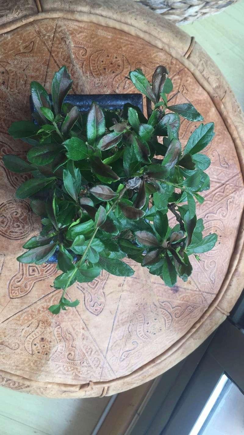 Presentación y mis nuevos bonsais. Ayuda urgente Carmona Img_2531