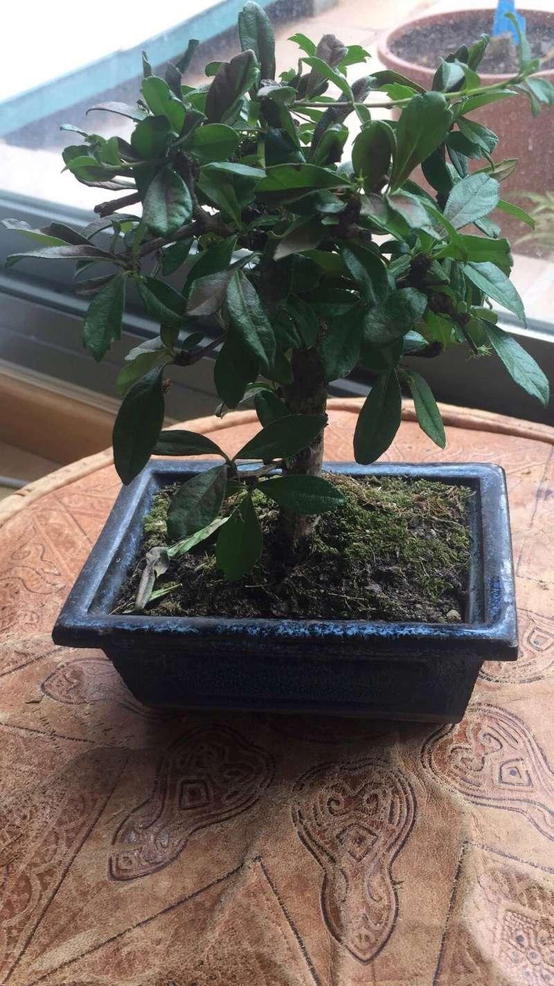 Presentación y mis nuevos bonsais. Ayuda urgente Carmona Img_2532