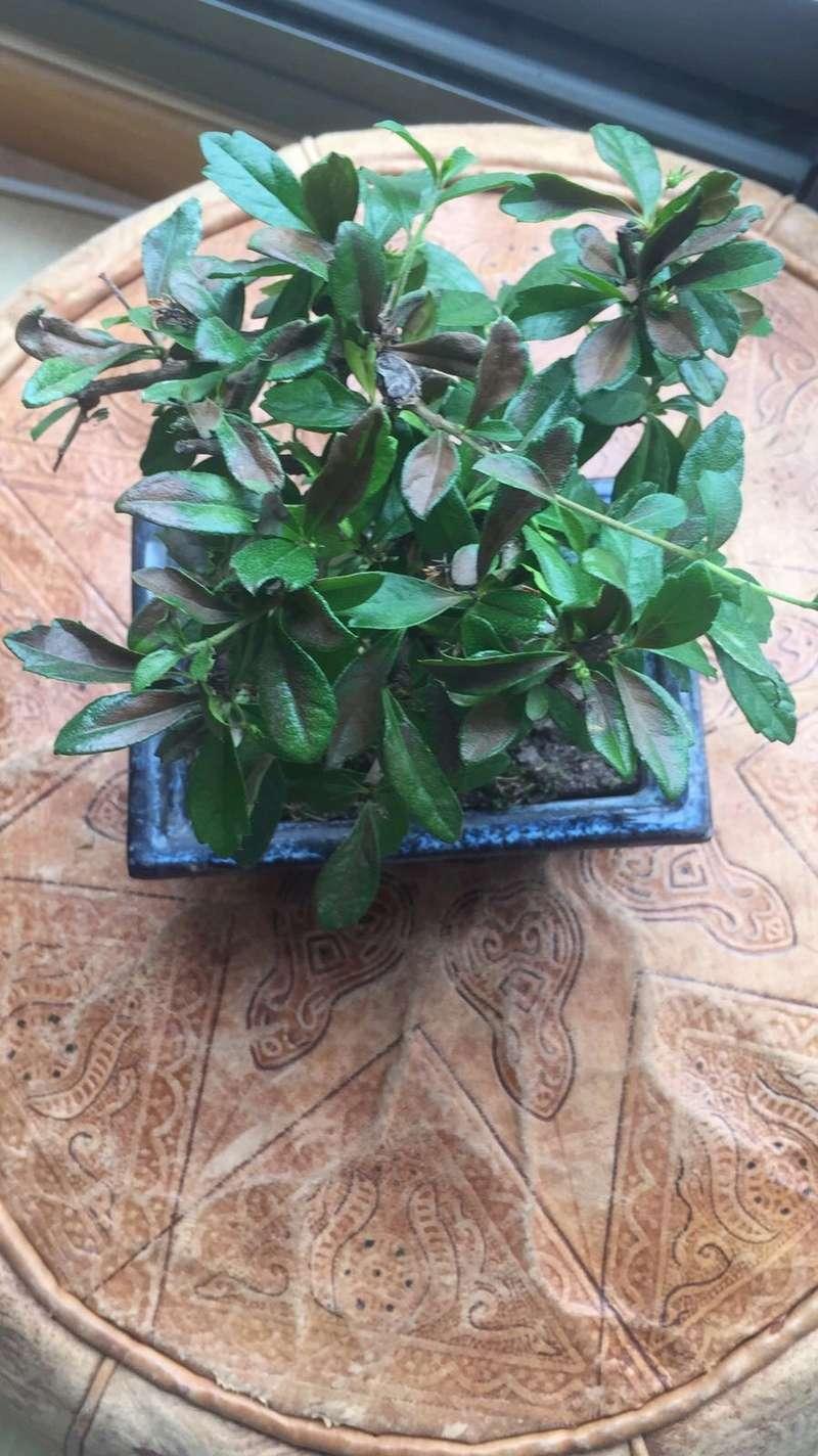 Presentación y mis nuevos bonsais. Ayuda urgente Carmona Img_2534