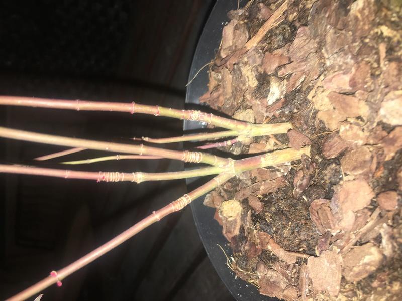 Presentación y mis nuevos bonsais. Ayuda urgente Carmona Img_9814