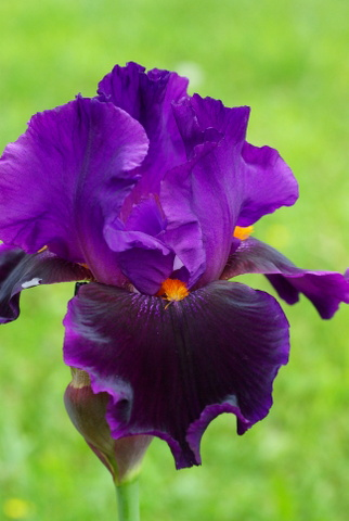 Iris 'Local Color' - Keith Keppel 1995 Imgp1610