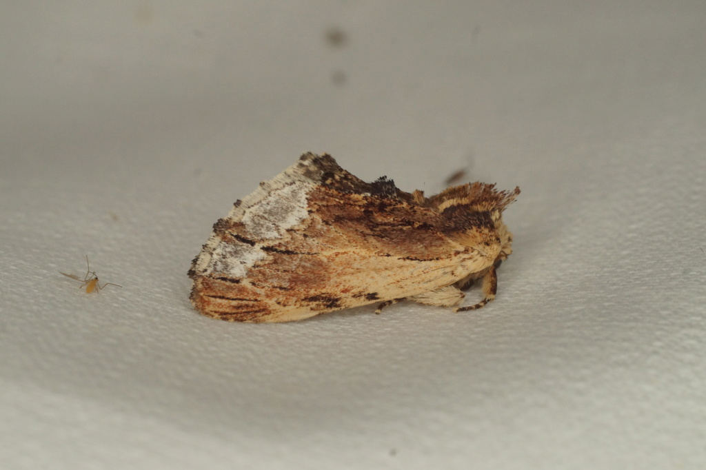 Capuchon breton Dsc03610