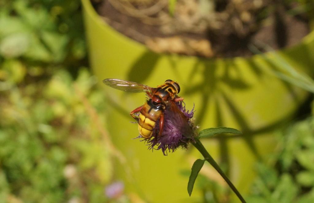 Milesia crabroniformis Milesi10