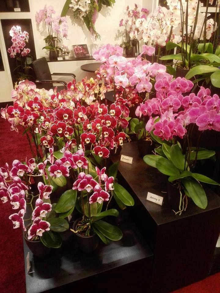 IPM Essen 2016 und Currling orchideen 2016 12189110
