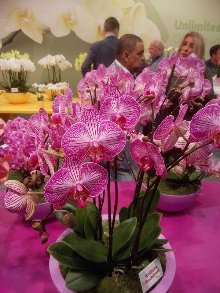 IPM Essen 2016 und Currling orchideen 2016 12195810