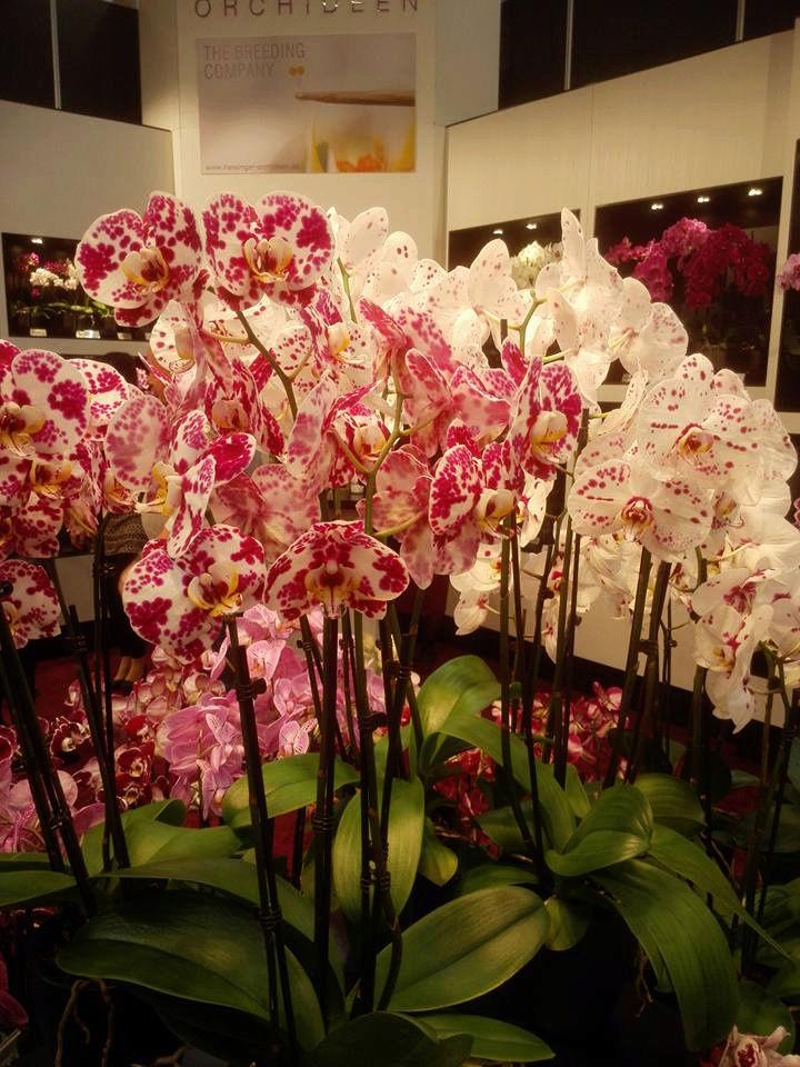 IPM Essen 2016 und Currling orchideen 2016 12195910