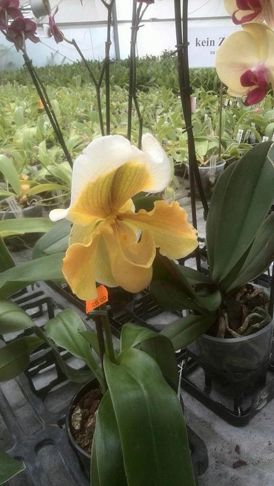 IPM Essen 2016 und Currling orchideen 2016 12932610