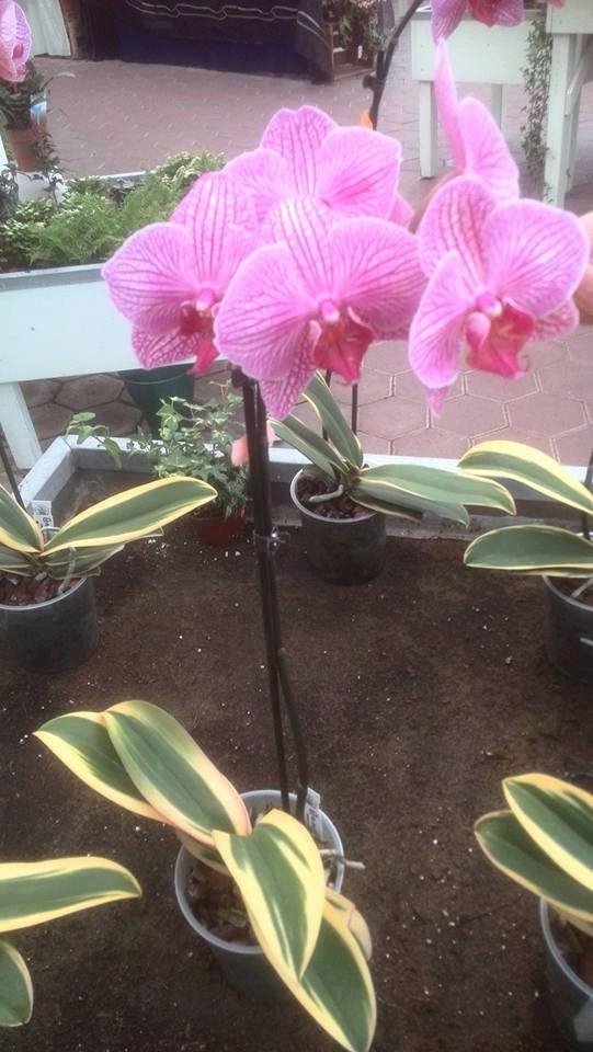 IPM Essen 2016 und Currling orchideen 2016 12932810