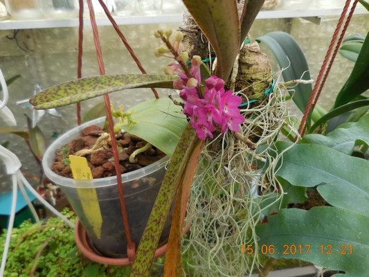orchidée dont j'ai perdu l'étiquette ?? 7if310