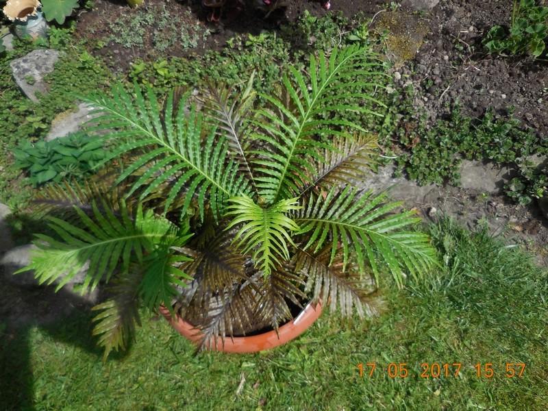 Fougère arborescente Blechnum gibbum Dscn1125