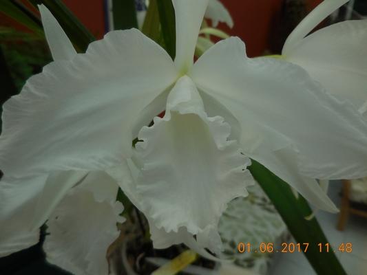 laelia purpurata var.suavissima Dscn1136