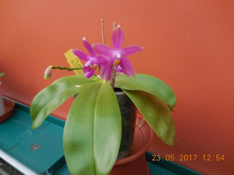 "Phalaenopsis speciosa ""C#1"" x violacea var.indigo Mxcp0014"