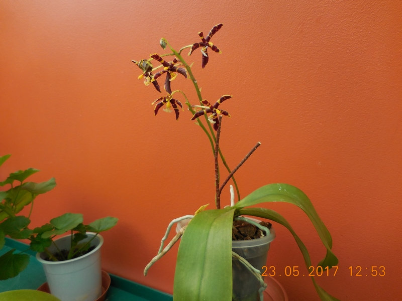 "Phalaenopsis manni ""Zarbitter Mxcpmb10"