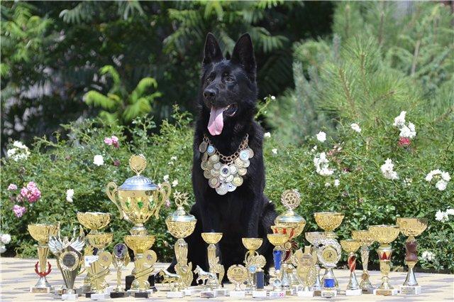 Черные девочки ВЕО от трёхкратного Супер Гранд Чемпиона Украины (FCI-КСУ) 32752b11