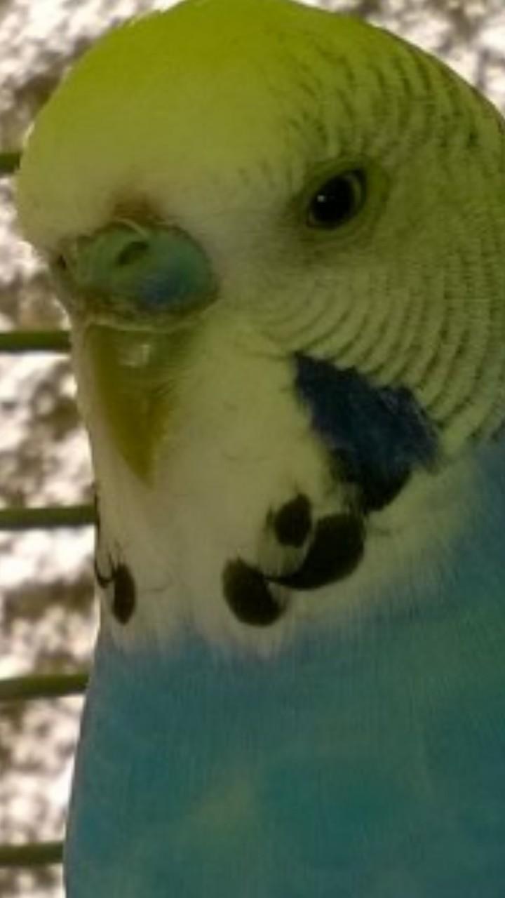 cire male bleu croute beige foncé (photo) Wp_ss_13