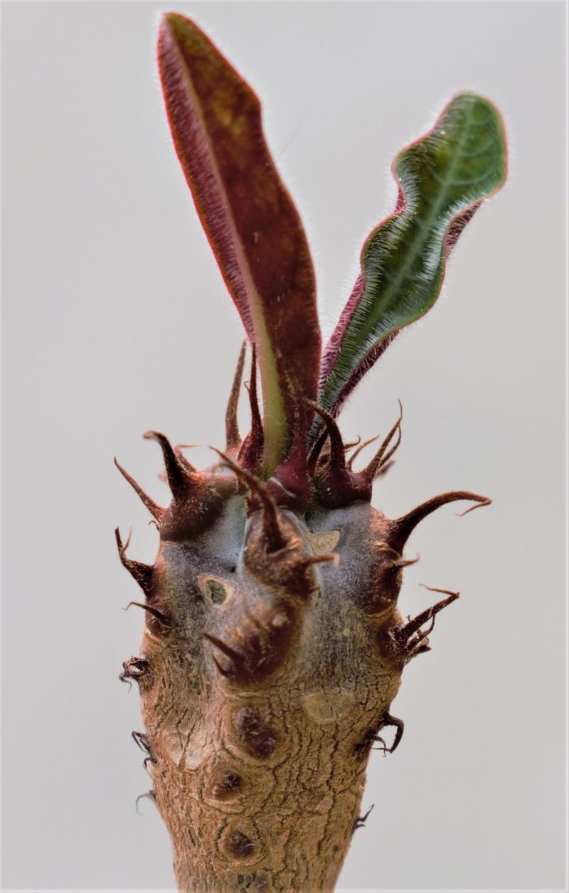 Euporbia caput-aureum Euphor15