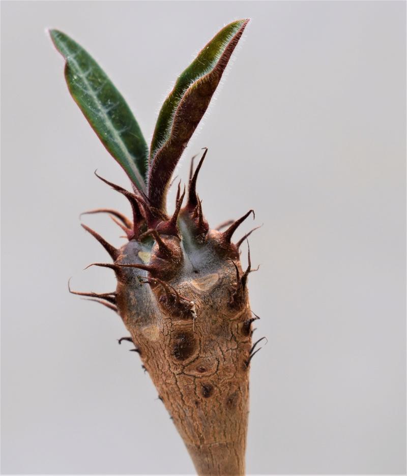 Euporbia caput-aureum Euphor16