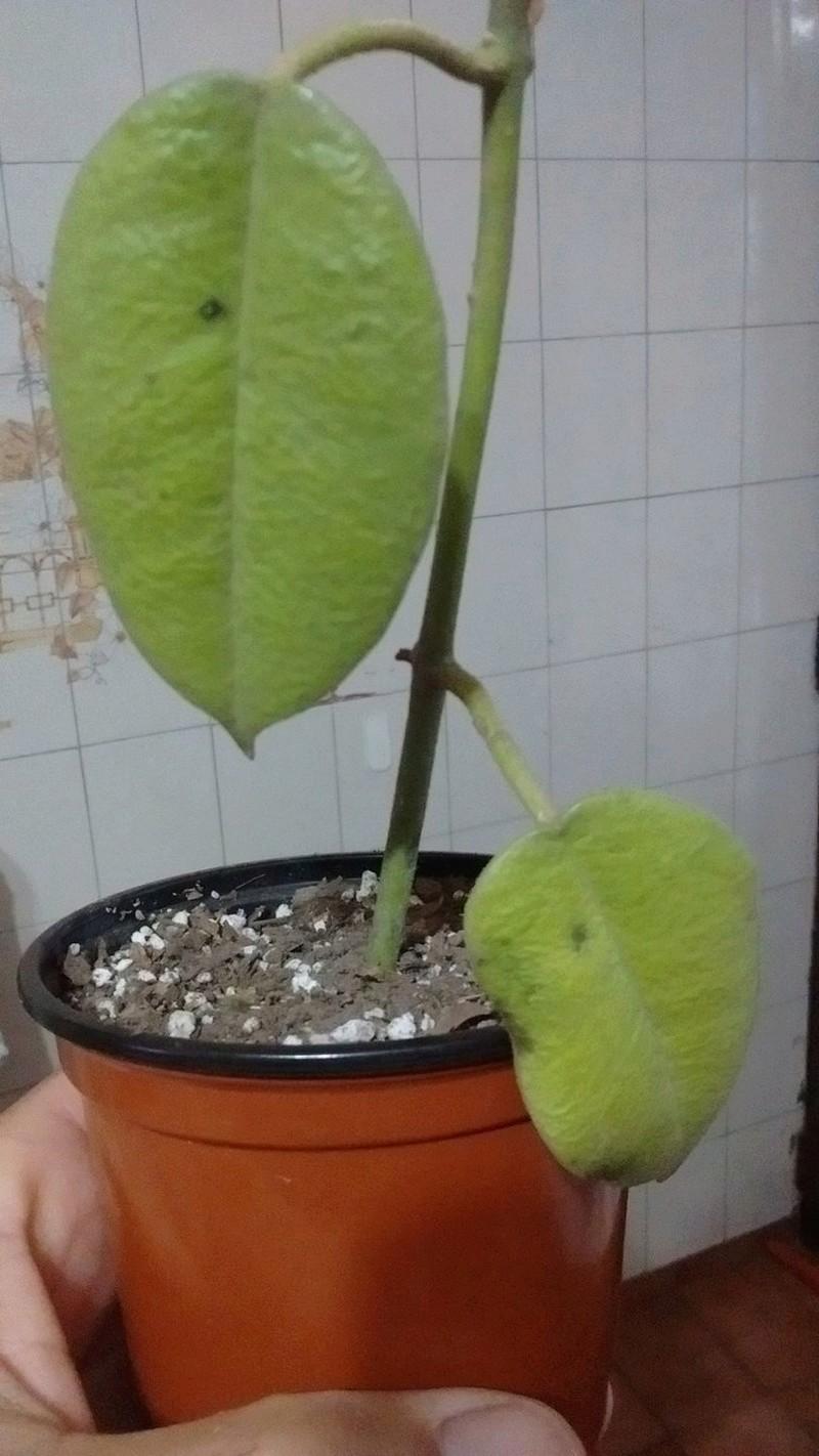 Manchas negras en mi Hoya Ariadna 18489811