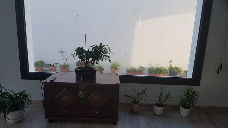 Bonsai Ficus, que ya creo que no lo parece 20170510