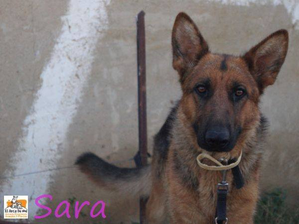 SARA - BERGER ALLEMAND - ES (Sole) 19397010