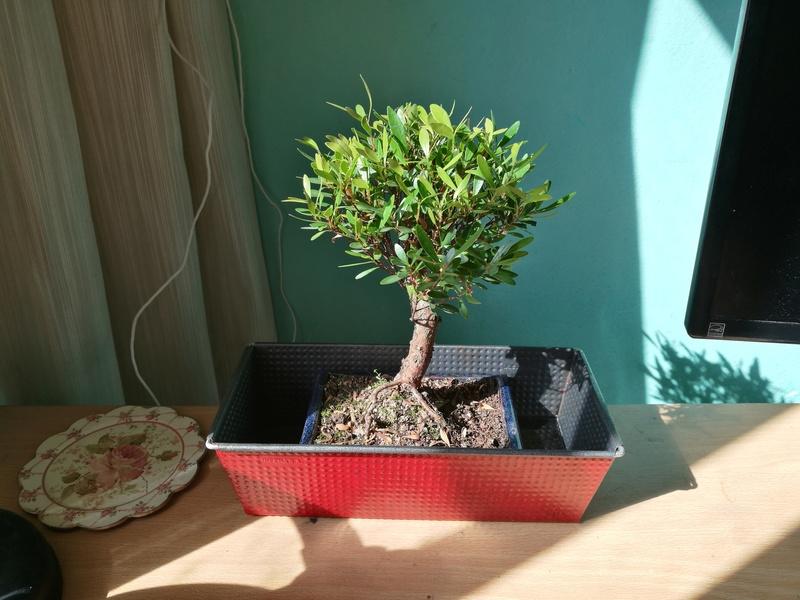 Mi primer bonsai (¿Qué tipo es?) Peque110