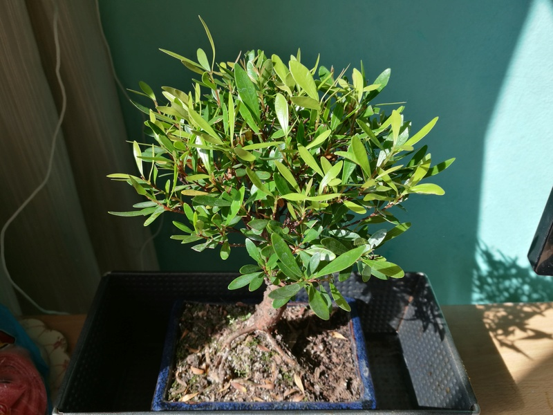 Mi primer bonsai (¿Qué tipo es?) Peque210